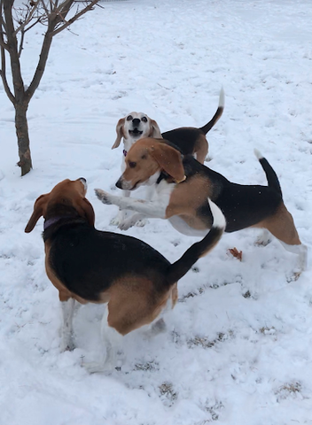 beagles playing in the snow